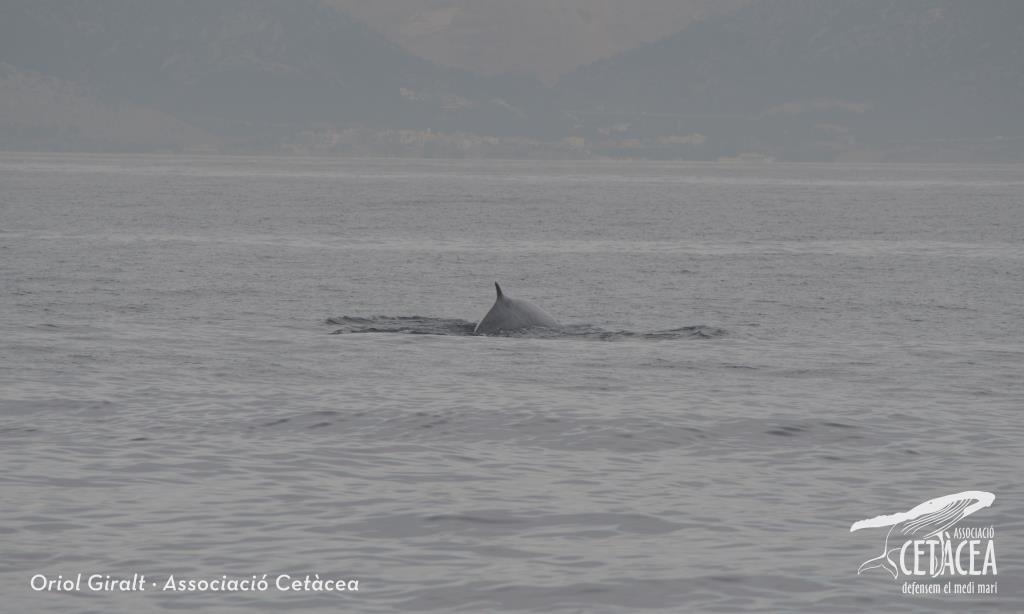Els estudiosos de l'Associació Cetàcea han observat aquest cap de setmana les primeres balenes de la temporada a la costa del Garraf. Es tracta dels primers rorquals (balaenoptera physalus) de l'any a la costa de Catalunya, concretament davant de Sitges. Segons han explicat des de l'entitat, com a mínim van poder veure dos exemplars. La balena rorqual és el segon animal més gran del planeta, només superat per la balena blava, i cada any passen multitud d'exemplars per davant les costes del Garraf i Penedès, de camí a les aigües del mar de Ligúria. L'albirament d'aquest dissabte es va completar amb la presència de dofins mulars i de frarets, un ocell que molta gent desconeix que es troba present. L'Associació Cetàcea celebra aquest any 9 anys de treball ininterromput realitzant el seguiment i foto-identificació de les poblacions de dofins i balenes de la costa catalana.